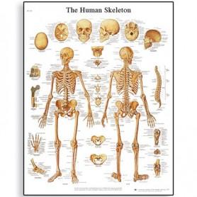 Postere anatomice - sistemul osos