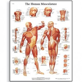 Postere anatomice - sistemul muscular