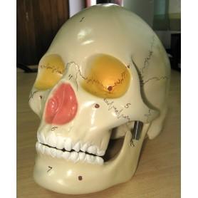 Craniu didactic dintr-o bucata