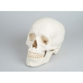 Craniu didactic din 3 parti