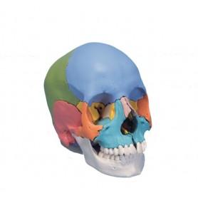 Craniu didactic din 22 parti colorate / A291