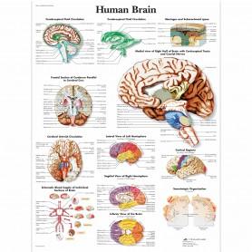 Poster creierul uman, 50 x 67 cm pe hartie