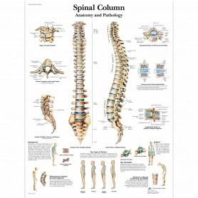Poster coloana vertebrala, 50 cm x 67 cm